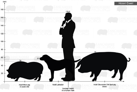 a chart showing pet pig size when comparted with a man and other pig breeds